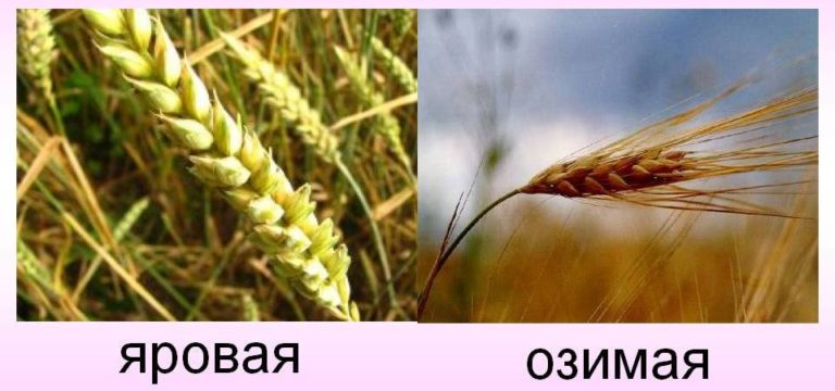 Выращивание пшеницы в ставропольском крае 934