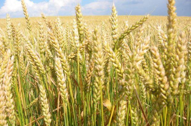 Что за сорт пшеницы дурум