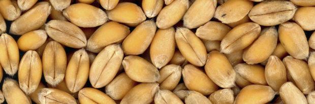 Зерно твердой пшеницы