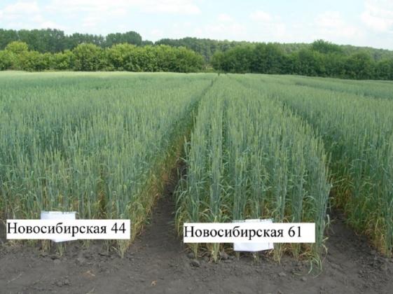 Сорт Новосибирская, испытания