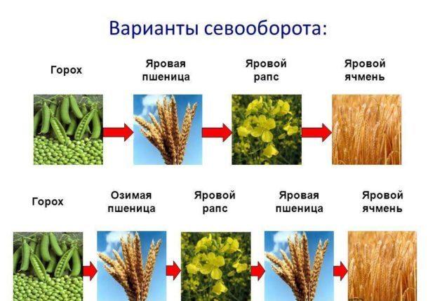 Севооборот в выращивании пшеницы