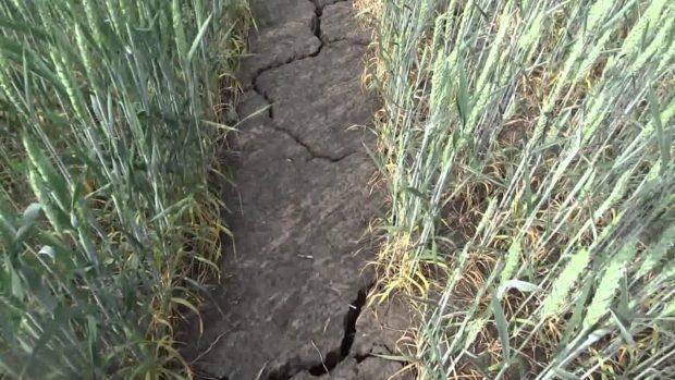 Засуха, яровая пшеница