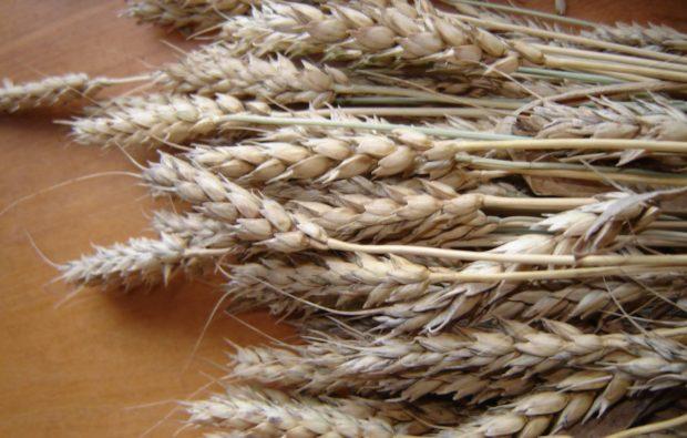 Кантегирская пшеница