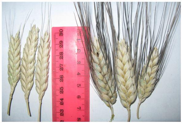 Виды пшеницы