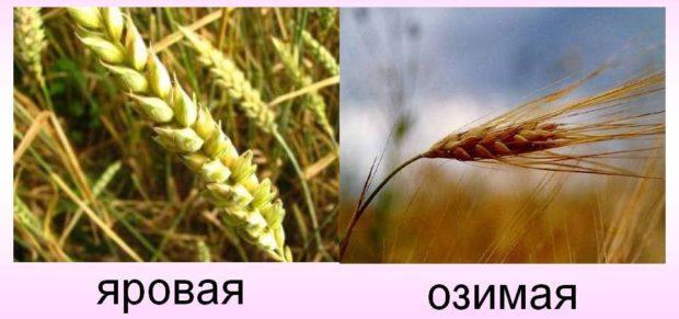 Яровая и озимая пшеница