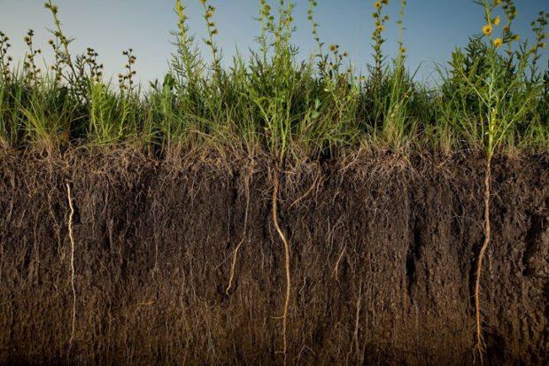 Глубина корней сидератов в почве