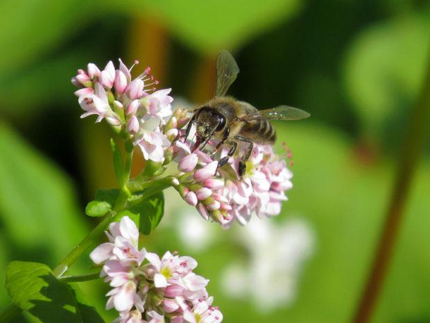 Сбор гречишной пыльцы