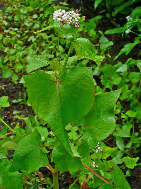Растение гречихи